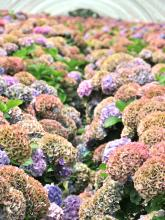 antique Hydrangea field