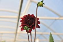 Dahlia in Hoophouse teaser