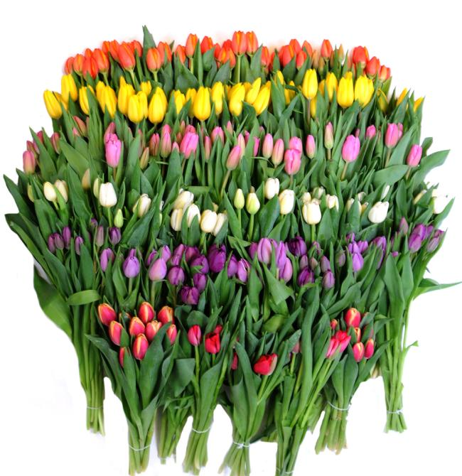 40 Pack Tulips Mix flowers