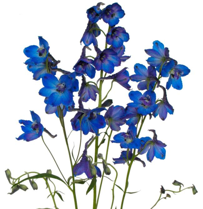Dark Blue And White Flowers: Delphinium Dark Blue