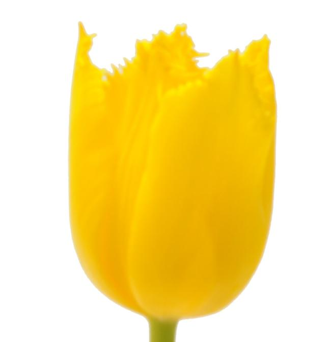 Tulip Golden Parade Flower