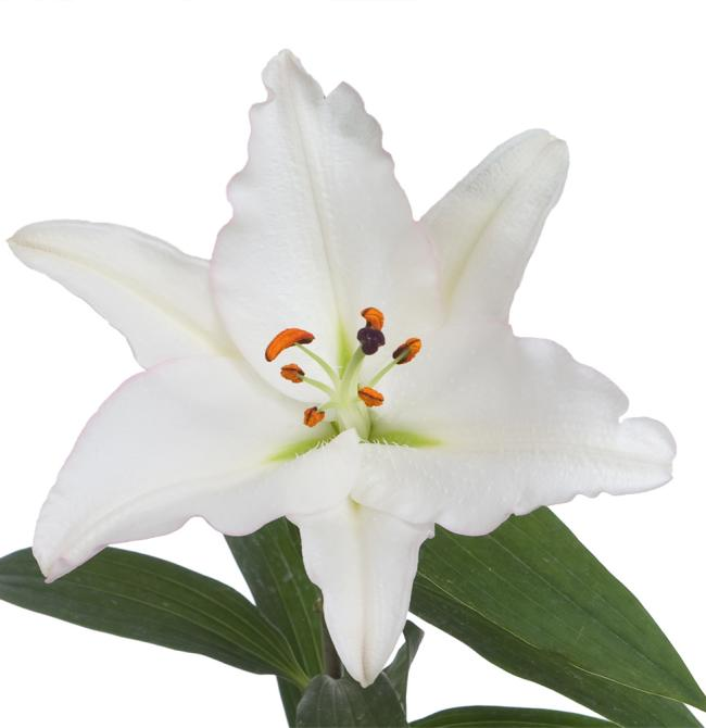 Lily LilyTopia Millesimo Flower single bloom