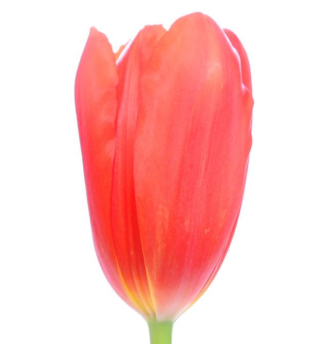 Redwood Grove French Tulip Red proud Flower