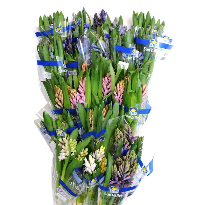 20 pack sun valley hyacinth