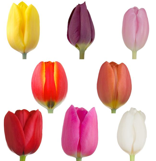 40 Pack regular tulip box