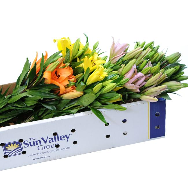 5 Pack Royal Lily Sun Valley Flower in box