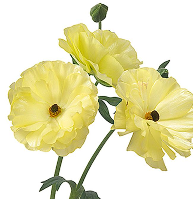 Ranunculus Butterfly Helios single flower