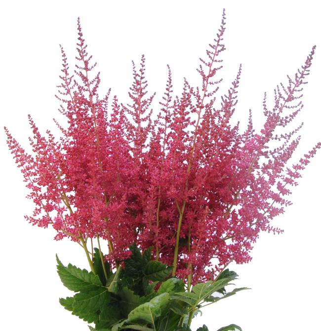red astilbe flower bunch