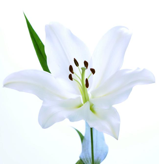 Buriano White oriental lily buy wholesale flower
