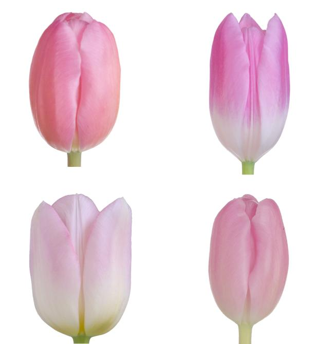 Tulip Standard Light Pink assorted mixed box