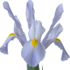 Iris Beauregarde Flower